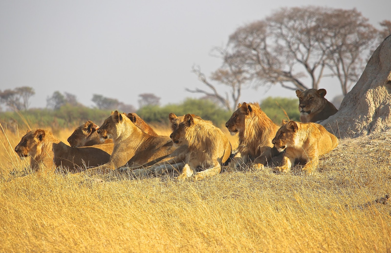 A picture of a pride of lions.