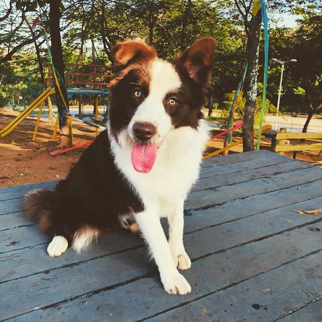 Cadela da raça Border Collie é treinada para acompanhar cadeirante em Ipatinga