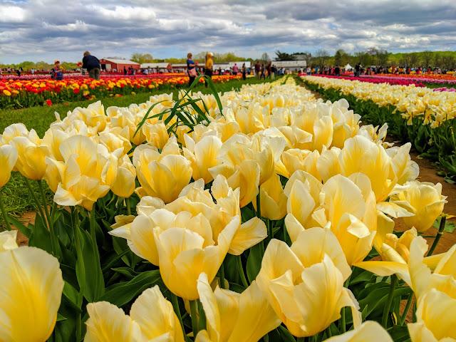 Найбільший фестиваль Фестиваль тюльпанів на східному узбережжі США