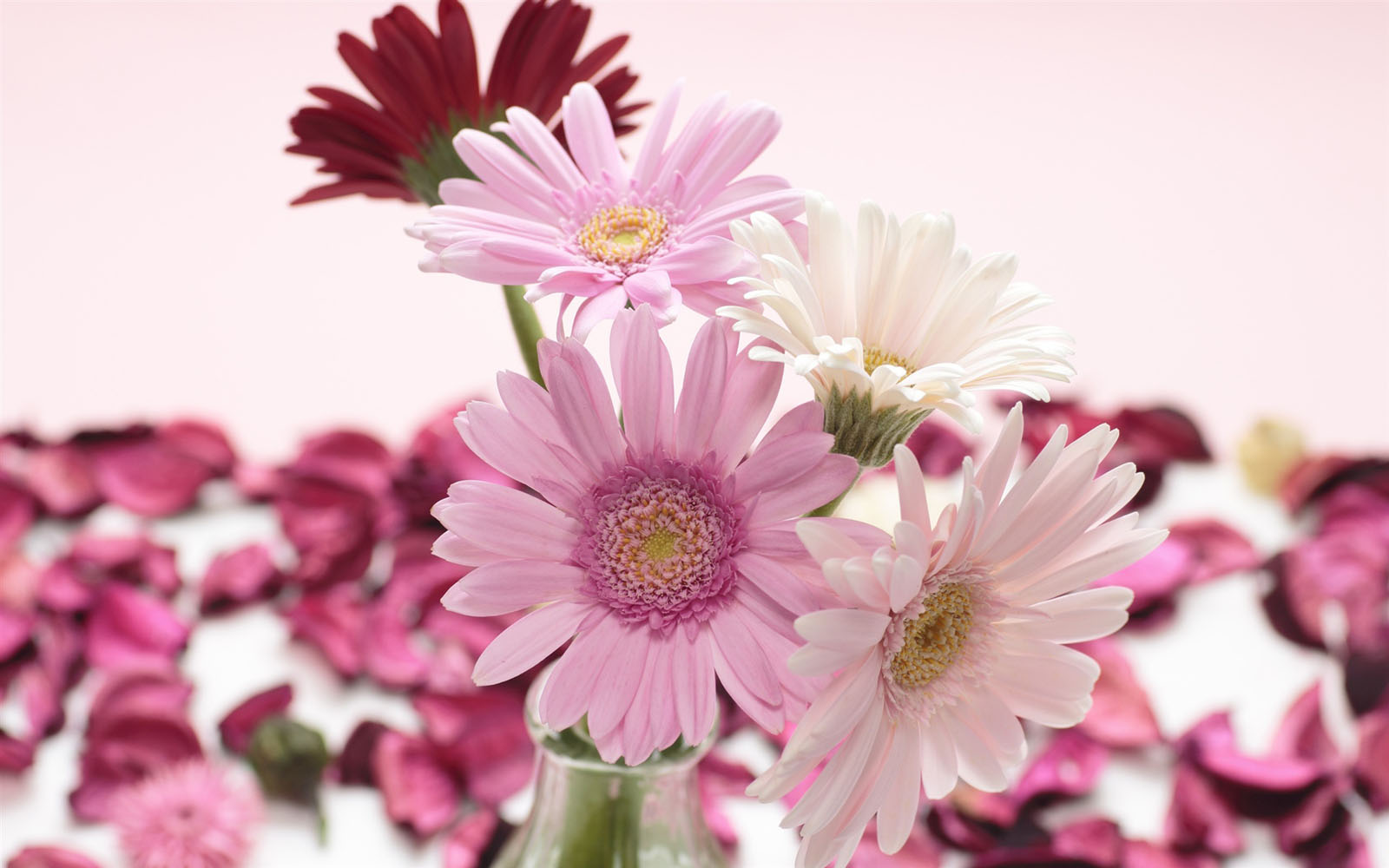 wallpapers: Gerbera Flowers Wallpapers
