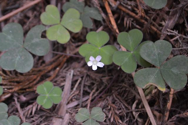 single redwood sorrel flower
