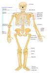 Los huesos más importantes del esqueleto humano