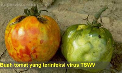 virus penyebab penyakit pada tumbuhan-penyakit bercak layu atau Spotted wilt adalah penyakit yang disebabkan oleh virus Tomato spotted wilt virus (TSWV) yang menyerang tanaman tomat