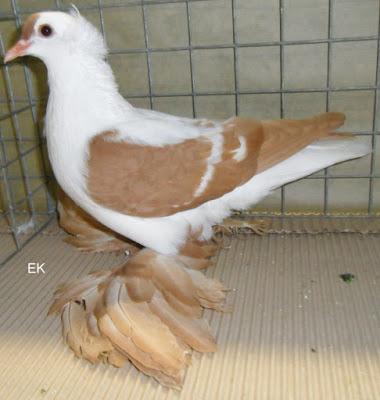 Sächsische Flügeltaube