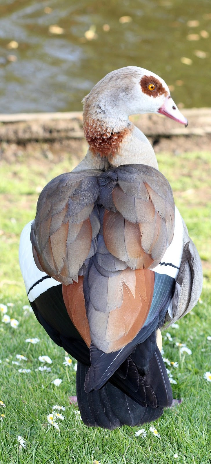 Egyptian goose exotic colors.