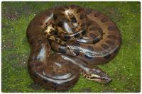 Cobras não-peçonhentas - Sucuri, a maior serpente brasileira