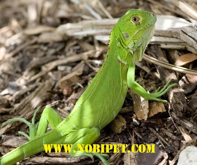 cach-nuoi-iguana-reptile-bo-sat-rong-nam-my-2