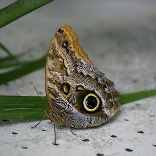 Caligo memnon - Papillon Chouette
