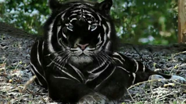 TIGRE-NEGRO Além do tigre alaranjado, do tigre dourado e do branco , há ainda outras possíveis variações de cor, das quais, sua existência não foi confirmada. Entre elas, estão o tigre-negro e o azul ou maltês.