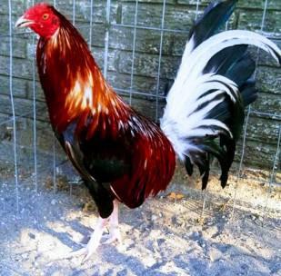 foto gallo de pelea bucher