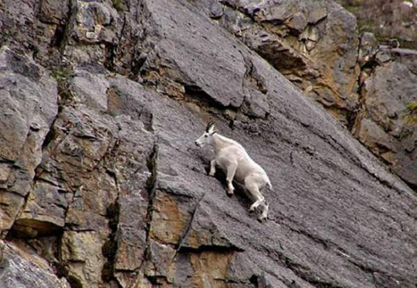 Mountain Goats Challenging Gravity
