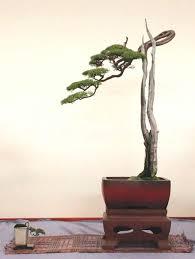 Literati Bonsai style (Bunjingi)