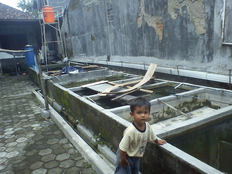 usaha ternak ikan hias