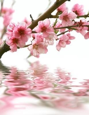 Fleur de pêcher (C) Fotolia !