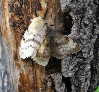 Male & Female Gypsy Moths - Photo by Vladimir Petko, V.N. Sukachev Institute of Forest SB RAS, Bugwood.org
