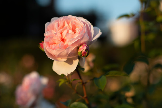 Image of a Rose in soft evening sunshine - Copyright Ashley Laurence - Time for Heroes Photography