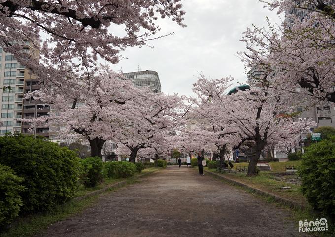 Sakura 2016, château de Fukuoka