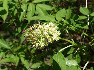 Sureau à grappe - Sureau de montagne - Sureau rouge - Sambucus racemosa