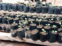 Penghobi Bertanam harus Tahu Keunggulan Bertanam Dengan Polybag