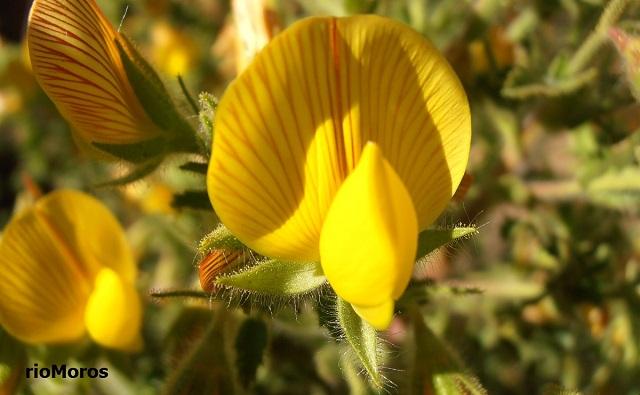 Flor de Melera Ononis natrix