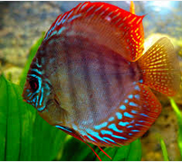 Profil Ikan Hias Diskus jenis ikan hias air tawar