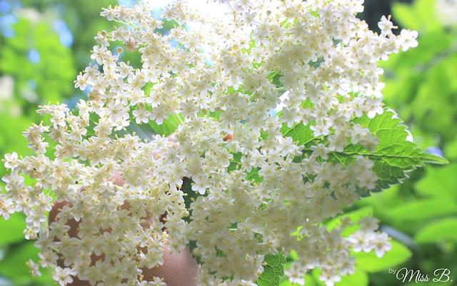 Holunderblüten pflücken [Wann, wie und wo?]