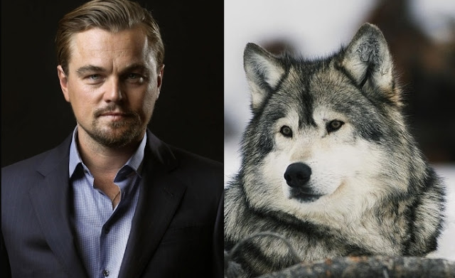 Saving Animals The Leonardo DiCaprio Foundation Stands Up To Protect American Gray Wolves