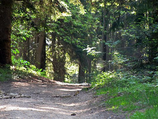 Las na Łysej Górze.