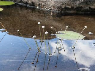 Ériocaulon aquatique - Eriocaulon septangulaire - Eriocaulon aquaticum