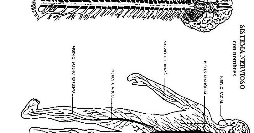 Colorea Tus Dibujos Sistema Nervioso Para Colorear