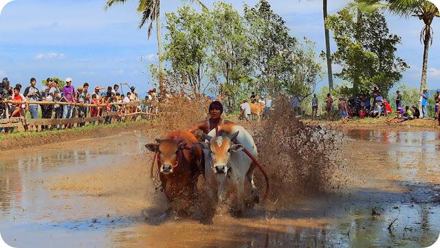 Pacu+Jawi+Tanah+Datar+Sumatera+Barat