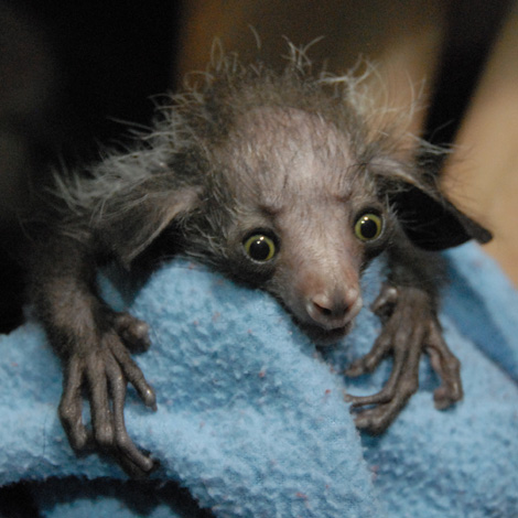 Baby Animals: Baby Aye-aye 4