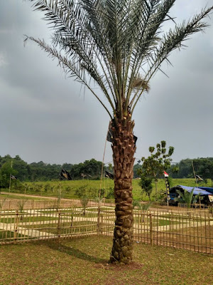 Kampoeng Kurma Jonggol ada pohon kurma