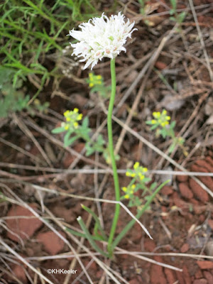 prairie wild onion, Allium textile