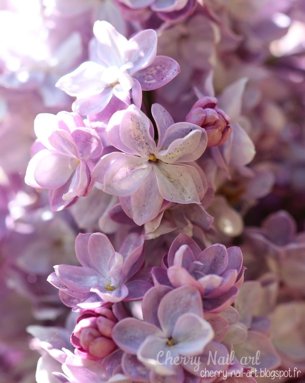 Lilas macro