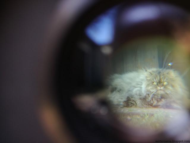 kot perski widok przez lornetkę