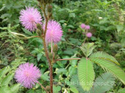 Keunikan Bunga Putri malu jika sentuh