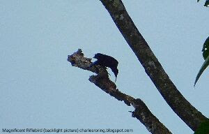Birding tour in Klabolo forest of Sorong regency by Charles Roring