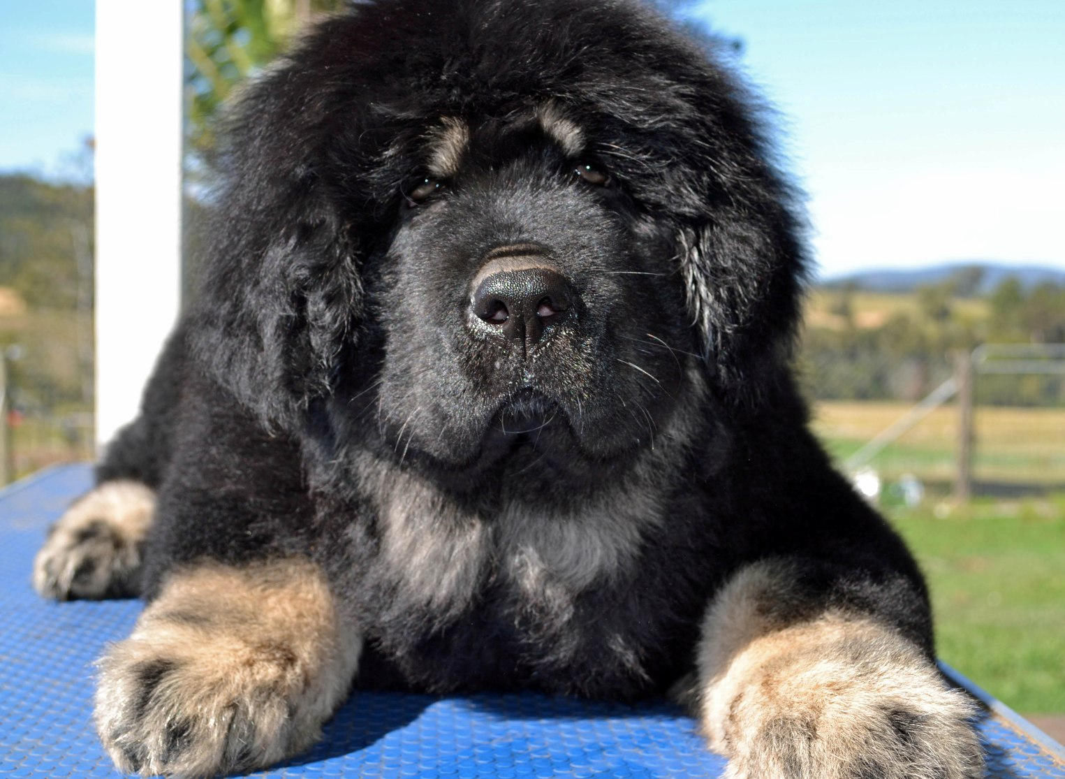 Tibetan Mastiff Dog The Do-khyi and Tsang-khyi
