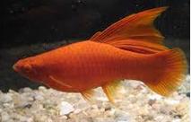 Jenis Ikan Hias Air Tawar Yang Mudah Dipelihara Platy