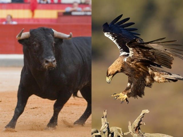 The national animal of Spain is Bull, and the national bird of Spain is Spanish Imperial Eagle.