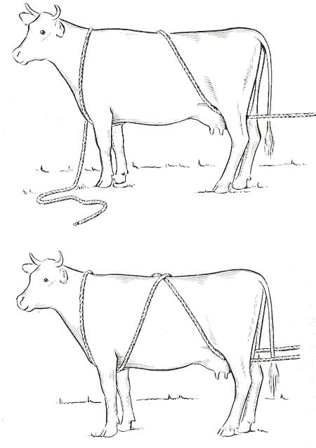cara merobohkan sapi kurban dengan mudah tanpa menyakiti