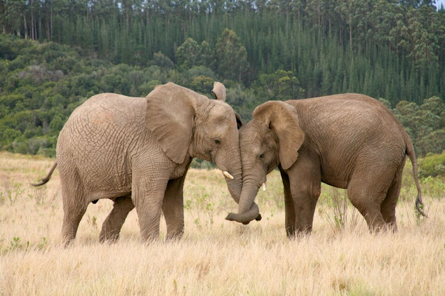 Knysna Elephants