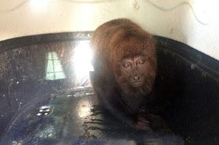 http://vnoticia.com.br/noticia/3067-apos-alta-do-nepas-macaca-resgatada-na-rua-da-jaca-e-reintroduzida-na-natureza-em-sfi