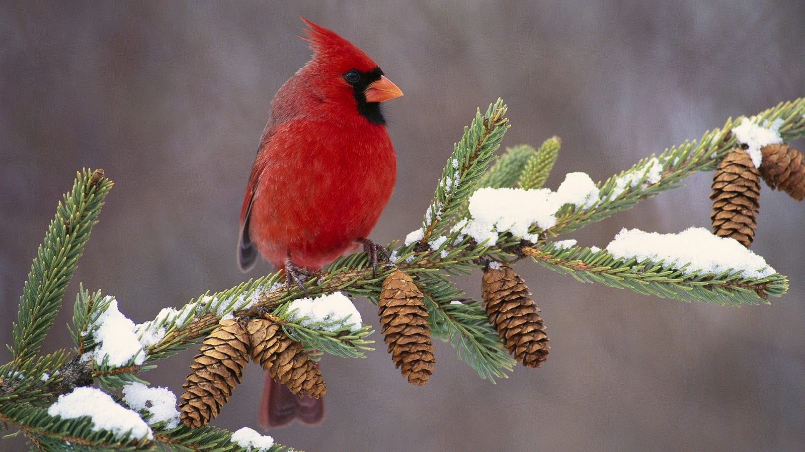 Bird Directory: Northern Cardinal of Christmas