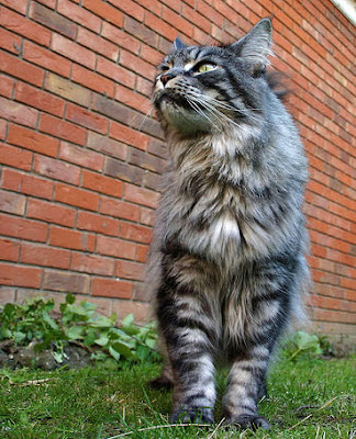 The big Maine Coon cat