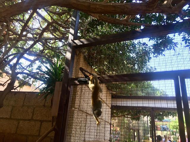 Monkey-parking-los-cristianos-monkeying-around-monkey