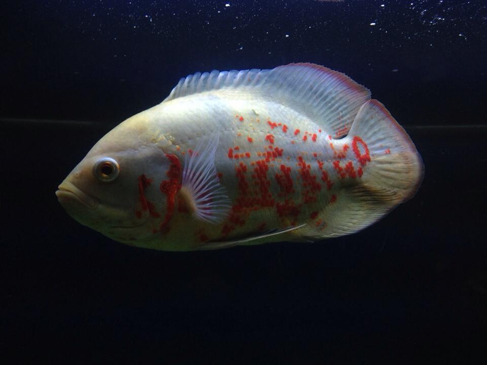 Criadero kimbi pez oscar cuidados y alimentaci n for Criadero de peces de colores