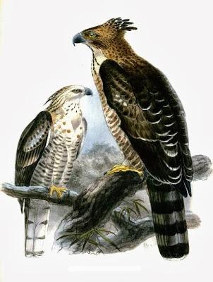 Águila azor montañesa Nisaetus nipalensis