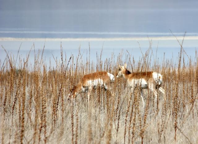 pronghorn antelope on Antelope Island, Utah